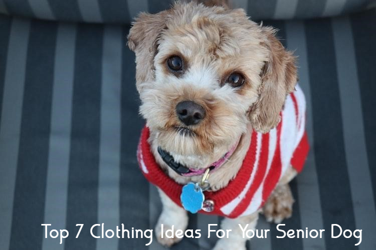 Clothing Ideas For Your Senior Dog